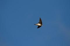 Sand martins in flight (jon lees [FRE]) Tags: hole nest flight chick britishwildlife sandbank countydown assi sandmartin ripariariparia sssi sandcliff killardpointnationalnaturereserve