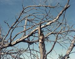 (Andrs Medina) Tags: film mediumformat branches 6x7 andresmedina
