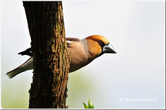 Hawfinch  Kernbeier  (M.A.K.photo) Tags: nature birds animals germany garden deutschland wings nikon europa europe hessen outdoor wildlife vgel garten birdwatching birdwatcher naturesfinest supershot nbw hawfinch coccothraustescoccothraustes bwg naturefinest naturewatcher natureselegantshots nikonflickraward kernbeiser fantasticwildlife distinguishedbirds birdperfect mybestwildlife photospourtousphotosforall