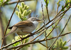 WHITETHROAT - STRUMPSHAW FEN (jdoakey) Tags: uk greatbritain trees england tree bird eye beautiful animal woodland wings pretty breast britain gorgeous branches sony great norfolk wing beak feathers feather norwich british lovely alpha dslr favourite fen animalplanet striped oakley strumpshaw thewildlife strumpshawfen flickraward avianexcellence dslt sal70400g sony70400 flickraward sonya77 theinspirationgroup