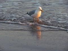 brooklyn coneyisland gothamist seabirds brooklynny