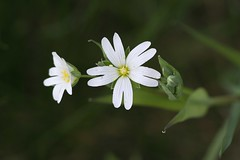 Greater Stitchwort (Stellaria holostea) (Deanster1983) Tags: flower macro nature photo stitchwort stellariaholostea greaterstitchwort