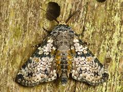 Moth (Ecuador Megadiverso) Tags: loscedros moth ecuador equateur mariposa lepidoptera équateur southamerica südamerika nature natur naturaleza macro polilla neotropics neotropical falena motte insetto insecto inseto insecte equador biodiversity wildlife fauna arthropoda taxonomy:class=insecta insecta taxonomy:order=lepidoptera ผีเสื้อและแมลงเม่า الفراشاتوالعث 蝶と蛾 蝴蝶和飞蛾 蝴蝶和飛蛾 makro arthropod butterfly schmetterling papillon biodiversidad insekt insect andreaskay reservaloscedros