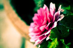 La prima Dalia non si scorda mai - Explore May 3, 2013 (Isabella Pirastu) Tags: flowers primavera colore natura springs fiori fiore dalia