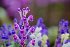 /Scutellaria indica var. parvifolia (nobuflickr) Tags: flower nature japan kyoto thekyotobotanicalgarden   persephonesgarden 20130503dsc09680 scutellariaindicavarparvifolia