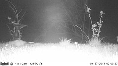 Possum (artlessfun) Tags: opossum kalama artlessfun cowlitzcountywa trailcamphotos