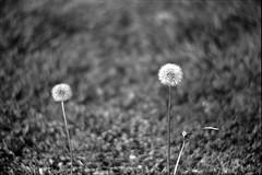 Make a Wish (P Bradshaw) Tags: blackandwhite film 50mm wish canonae1 kodaktrix400