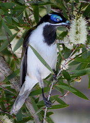 Blue-faced Honeyeater (DMT@YLOR) Tags: bluefacedhoneyeater