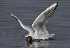 f_hettemake_gull_Chroicocephalus ridibundus_4995 (Ljostad) Tags: bird nature oslo norway norge gull natur fugl ornithology hettemke stensjvannet nikkor500f4 chroicocephalusridibundus