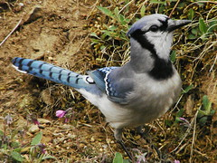 DSC00118 (Timbo Connard) Tags: blue birds birdfeeder bluejay mountaineer songbirds backyardbirds wvwestvirginia mountaineerphotomemories