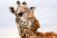 Nairobi National Park, Nairobi, Kenya (Paul A Thomas) Tags: kenya nairobi mammals giraffacamelopardalistippelskirchi giraffacamelopardalis eventoedungulates masaigiraffe artiodactyla giraffidae afrotropical