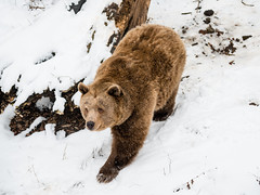 BEAR! (dawvon) Tags: world bear travel winter snow nature animals architecture season ed nikon europe zoom snapshot unescoworldheritagesite unesco worldheritagesite snaps unitednations czechrepublic nikkor snowfall ceskykrumlov bohemia f4 vr afs lenses historicalbuilding zoomlens f4g eskkrumlov unitednationseducationalscientificandculturalorganization southbohemia 24120mm echy eskrepublika  jihoeskkraj fmount vibrationreduction vr2 vrii standardzoom  centraleasterneurope eskkrumlovcastle nanocrystalcoat sttnhradazmekeskkrumlov afsnikkor24120mmf4gedvr 24120mmf4gvr  statecastleeskkrumlov southbohemiaregion eskkrumlovstatecastle eskkrumlovstatecastleandchateau