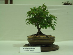 trident maple (Bonsaigirl) Tags: scotland display gardening bonsai caledonian 2013