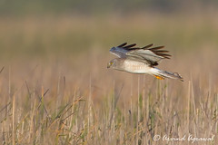 Northern Harrier (Male) - IMG_6407 (arvind agrawal) Tags: