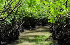 Mangrove Creek (Mallick's Imaginary) Tags: forest mangrove landscape plant tree creek