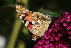 Distelfalter (Vanessa cardui) (Hugo von Schreck) Tags: distelfalter vanessacardui schmetterling falter butterfly macro makro insect insekt hugovonschreck outdoor canoneos5dsr tamron28300mmf3563divcpzda010 onlythebestofnature