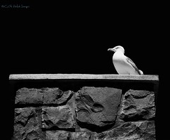 North Shore View (Connie KCMO) Tags: birds blackandwhite gooseberryfalls minnesota northshore twoharbors