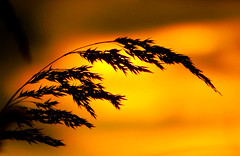 Douce lumire (M. Carpentier) Tags: coucherdesoleil leverdesoleil sunset sunrise jaune yellow douceur softness light lumire gramin weeds bientre wellbeing silhouette