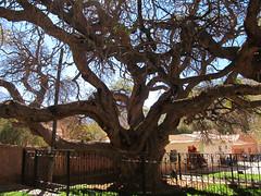 "Purmamarca: l'arbre millénaire <a style=""margin-left:10px; font-size:0.8em;"" href=""http://www.flickr.com/photos/127723101@N04/28525763724/"" target=""_blank"">@flickr</a>"