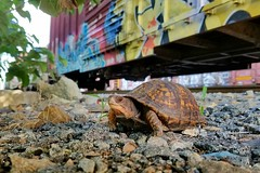 COLD CHILLING (BLACK VOMIT) Tags: graffiti freight train boxcar box car turtle railroad tracks