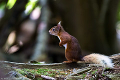 Strike a Pose (PeteWPhotography) Tags: red squirrel brownsea