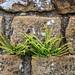 20160714-IMG_6497 Ferns In Barracks Walls Chesters Roman Fort Hadrians Wall Northumberland.jpg