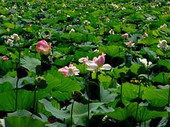 (Soror Mystica) Tags: lotus lotusleaves flowers nelumbonucifera lake