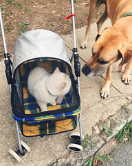 217/366 (moke076) Tags: 2016 365 366 project366 project 365project project365 oneaday photoaday vsco vscocam cell cellphone iphone mobile british shorthair cat animal pet dog great dane fawn moose stroller kitty walk meeting sniff greeting cabbagetown