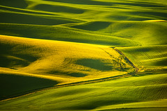 Palouse Shades of Green (Dan Mihai) Tags: thepalouse steptoebutte sunrise morning sidelight green hills yellow washington landscapes palouse wheat rollinghills washingtonstate landscape whitmancounty beautiful nature sunup
