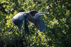 heron taking flight (adirondack_native) Tags: heron flight great blue outdoors back bay wildlife refuge