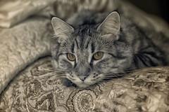 Leonardo in Infrared (zenseas : )) Tags: leonardo infrared ir digitalinfrared cat pet pixiebob portrait boy dear sweetie seattle washington feline male ill sick sickday
