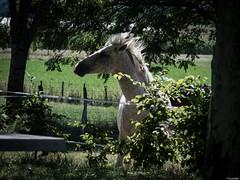Exhibicionista (Luicabe) Tags: airelibre animal caballo cabello campo enazamorado equino exterior luicabe luis naturaleza paisaje vegetacin verde vertebrado yarat1 zamora zoom