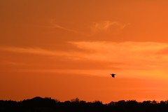goin' home (peet-astn) Tags: sky sun sunset orange bird cielo tramonto hadeda southafrica