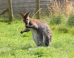 Bennett's Wallaby (Bogger3.) Tags: bennettswallaby peakwildlifepark winkhill staffordshire australia tasmania canon600d canon18x135lens coth5