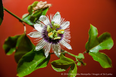 IMG_0818.jpg (Dhammika Heenpella / Images of Sri Lanka) Tags: dhammikaheenpella imagesofsrilanka srilanka 2016 70d passiflora passifloraceae anther closeup filament flower green horizontal leaves nature outdoor passionflower passionvine passionfruit petals photography photos plant stigma