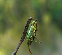 Chicharra alicorta (candi...) Tags: chicharraalicorta insecto invertebrado naturaleza grillo macro macrofotografia sonya77