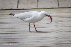 IMG_7008 (timrusson) Tags: silvergull