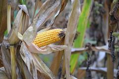 Mais corn (giuseppe.tavone) Tags: corn cereali granturco mais