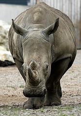 Love them, or lose them! (SteveJM2009) Tags: whiterhino rhino marwell hants hampshire uk september 2016 stevemaskell worldrhinoday naturethroughthelens