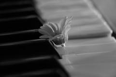 piano keys_3 (letalka) Tags: blackandwhite monochrome depthoffield music pianokeyboard piano stringedinstrument chamomile smog texture