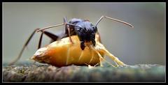 Vocation (J Michael Hamon) Tags: ant blackant carpenterant bug insect macro closeup nature hamon nikon d3200 nikkor 1855mm kenko extensiontube photoborder