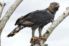 Crowned Hawk-Eagle (Stephanoaetus coronatus) with prey ... (berniedup) Tags: stephanoaetuscoronatus taxonomy:binomial=stephanoaetuscoronatus eagle crownedeagle bird hluhluweimfolozi hluhluwe crownedhawkeagle