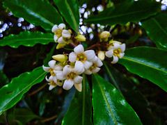 Pittosporum blossom (elphweb) Tags: flower macro pittosporum australia nsw falsehdr fhdr leaves green