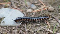 IMG_0615 Cyanide Millipede - Haraphe haydeniana (Jon. D. Anderson) Tags: millipede cyanidemillipede harpaphehaydeniana yellowspottedmillipede