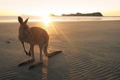Good Morning Australia (Martin Wasilewski) Tags: australien australia queensland capehillsborough wallaby kangaroo knguru sonnenaufgang sunrise nature oceania ozeanien landscape scenery beach strand wildlife beuteltier downunder