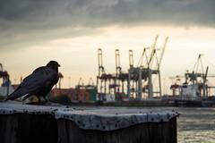 Prophet's eye... (Fotogezwitscher) Tags: raven sinister kranes harbor landscape animal bird water hamburg river bollard watch sunset dusk clouds