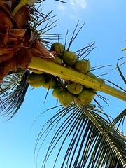 Coqueiro... (anthonydj08) Tags: coqueiro praia cu sky beach coconut coco tree paripueira alagoas brasil brazil