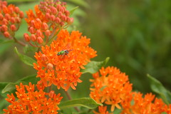 Butterfly weed and halictid bee (The NYSIPM Image Gallery) Tags: ipm nysipm integratedpestmanagement farm pest garden bee beneficial insect pollinator landscape cornelluniversity cooperativeextension conservation asclepias tuberosa halictidae sweatbee agapostemon pestmanagement pestcontrol cornell ipmimagegallery cropprotectionandpestmanagementprogram usdanifa cppm usda nifa nysipmimagegallery