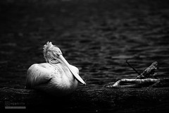 Nap (syphrix photography) Tags: syphrix singapore jurong bird park spotbilled pelican grey pelecanus philippensis relatively small crest hindneck brownish tail black white canon 2016 animal wildlife reserve conservation nature log water tree monochrome