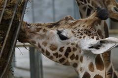 Giraffe (Rovers number 9) Tags: minolta bokeh sony lancashire giraffe blackpoolzoo minoltaaf28135mmf445 minoltabokeh sonya65